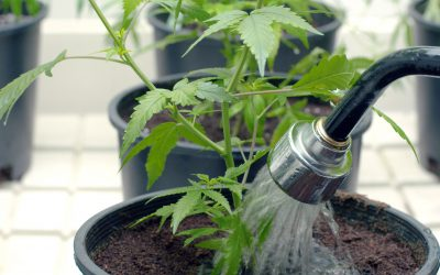 The Consequence of Cannabis Irrigation Runoff